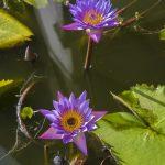 Photo Sri Lanka fleurs lotus