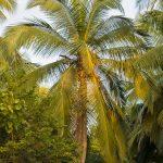 Photo tourisme Sri Lanka cocotier