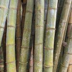 bambou photo fred Blanpain