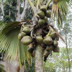 Double noix de coco