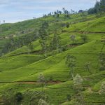 Nuwaraeliya - Thé de Ceylan - Sri Lanka
